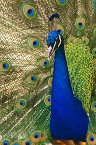 Oregon_zoo_peacock_male